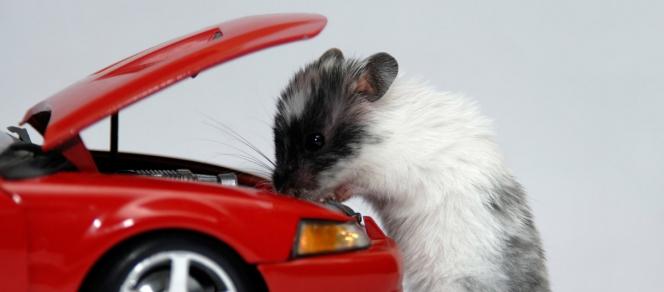 quels risques avec les rats pour vos voitures what. Black Bedroom Furniture Sets. Home Design Ideas